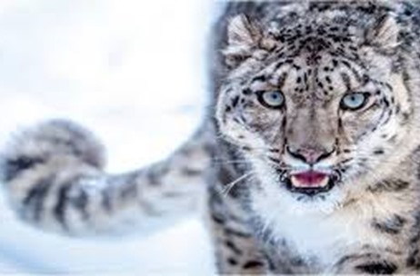 Come February, Uttarakhand Tourism will Organise First-ever Snow Leopard Tours for Visitors